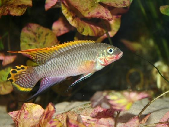 Pelvicachromis taeniatus nigeria rot Männchen