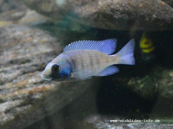 "Placidochromis sp. ""phenochilus gissel"""