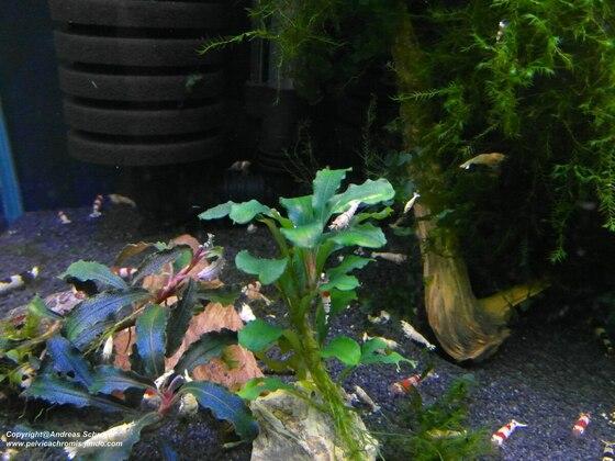 Bucephalandra bukit sintang
