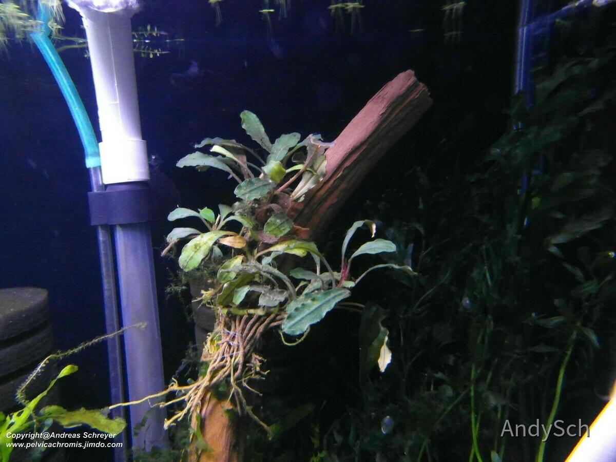 Bucephalandra Kapuas hulu (die jene welche da nach links wächst mittig scheint falsch eingetütet gewesen zu sein)