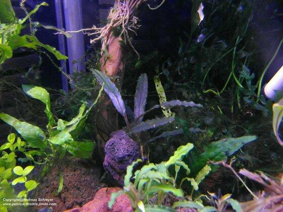 Bucephalandra melawi dark chili