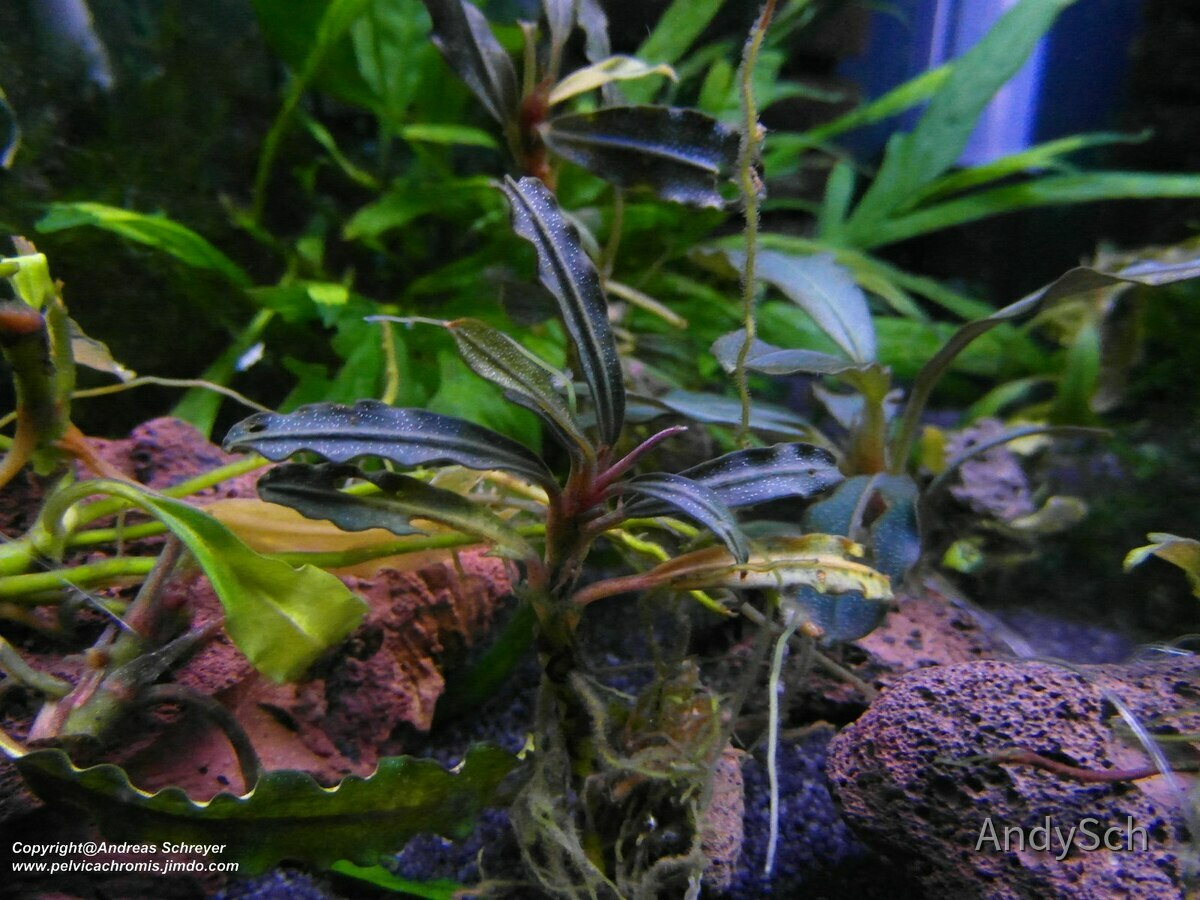 Bucephalandra deep purple