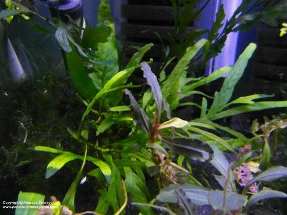 Bucephalandra red gaia