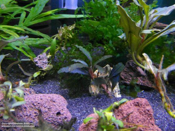 Bucephalandra vampire black