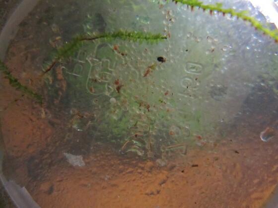Hyphessobrycon anisitsi - befruchtete Laichkörner (durchsichtig)