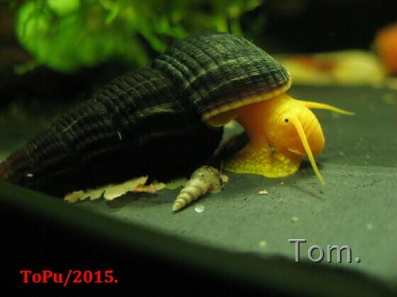 Tylomelania sp. 'Orange'