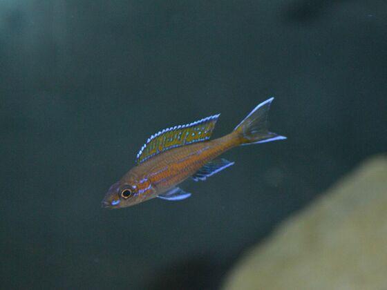 P. nigripinnis - junges Männchen 1