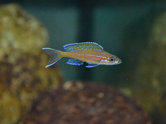 P. nigripinnis - junges Männchen 2