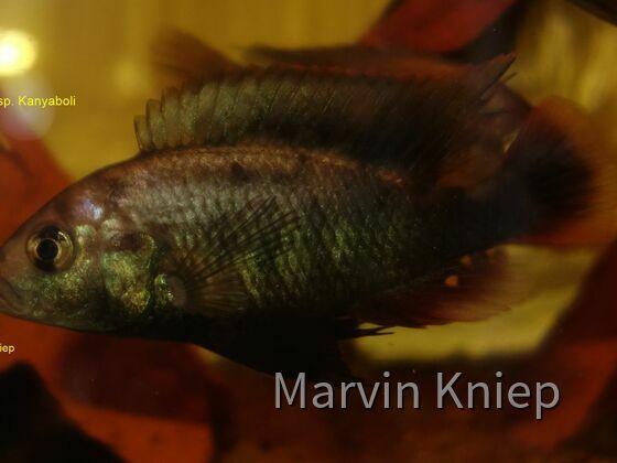 Haplochromis sp. Kanyaboli