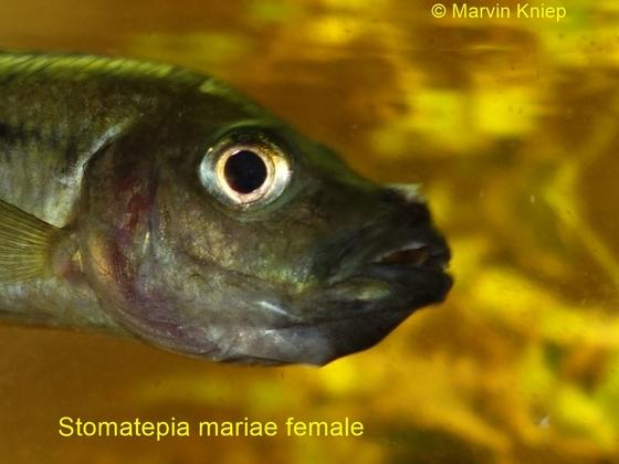 Stomatepia mariae Weibchen mit Eiern im Maul