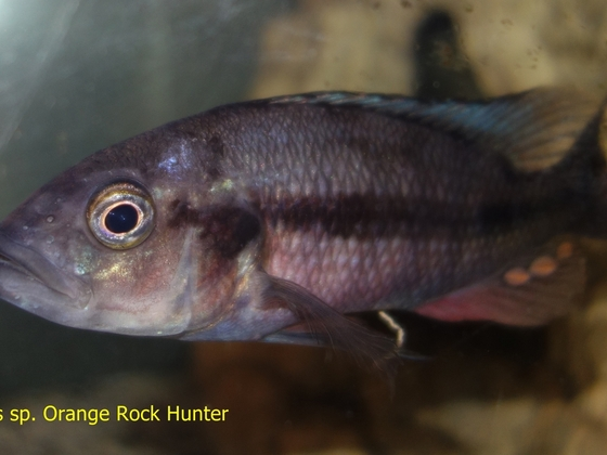 Harpagochromis sp. Orange Rock Hunter