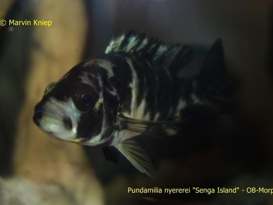 """Pundamilia nyererei """"Senga Island"""" OB-Morphe"""