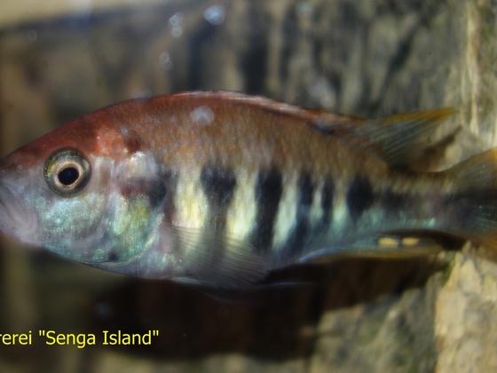 """Pundamilia nyererei """"Senga Island"""""""