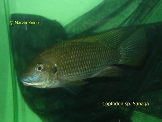 Coptodon sp. Sanaga