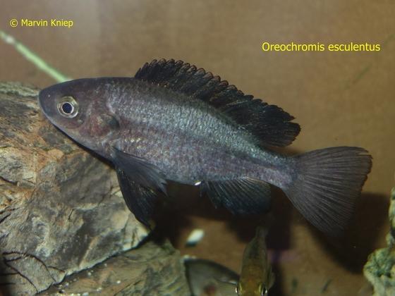 Oreochromis esculentus
