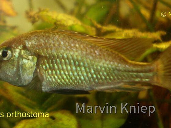 Pyxichromis orthostoma