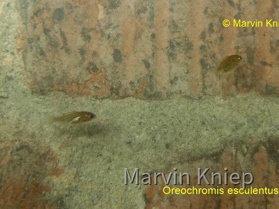 Meine kleinen Oreochromis esculentus