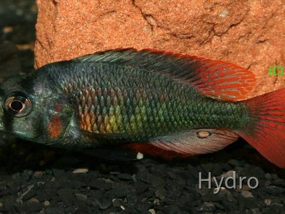 Haplochromis sp.Uganda fire red