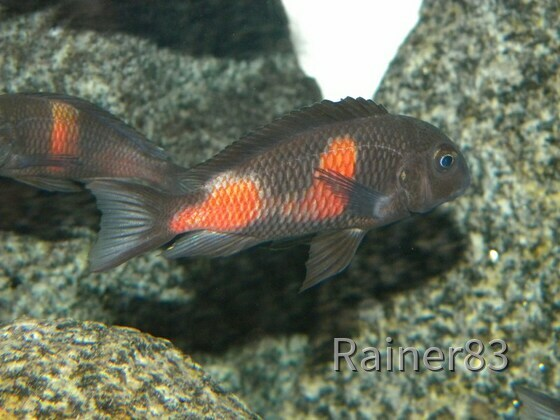 Tropheus sp. black Bulu Point