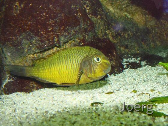 Tropheus moorii Golden Kazumba
