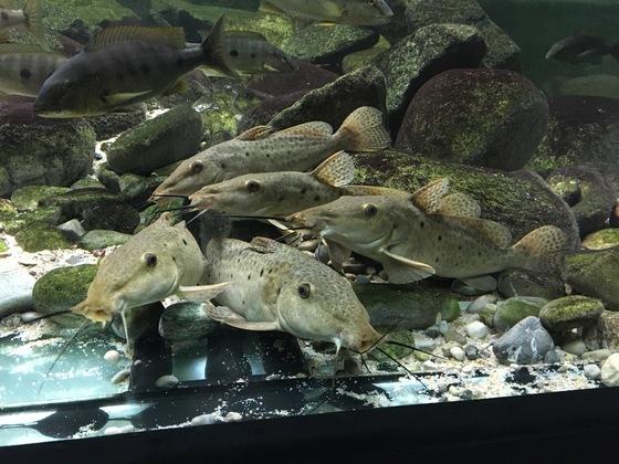 Auchenoglanis tanganicanus Gruppe