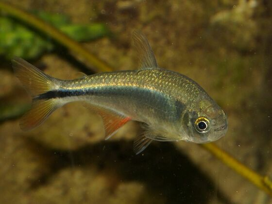 Astyanax mexicanus Rio Pantepec
