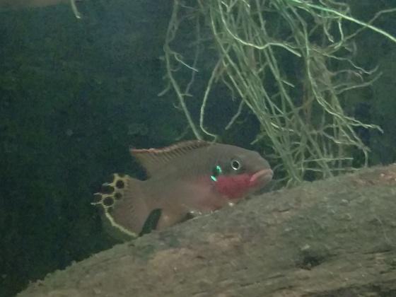 Pelvicachromis taeniatus Nigeria rot