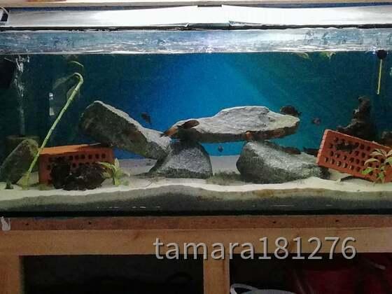 Aqua-Raum teil 2  neuzugang lebt jetzt auf 800 liter leider zeigen sie noch keine/wenig farbe 20 Tropheus moori Bemba
