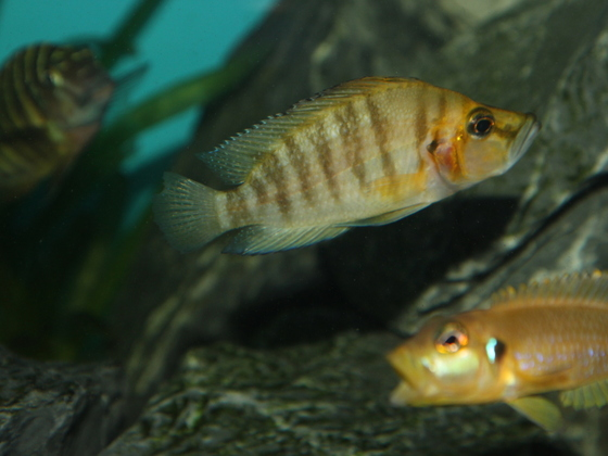 "Altolamprologus compressiceps ""gold head"