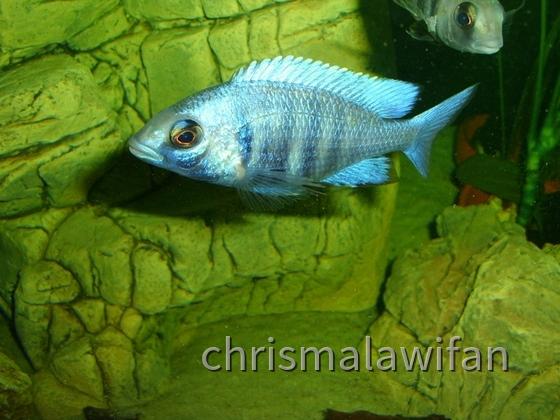Placidochromis phenochillus