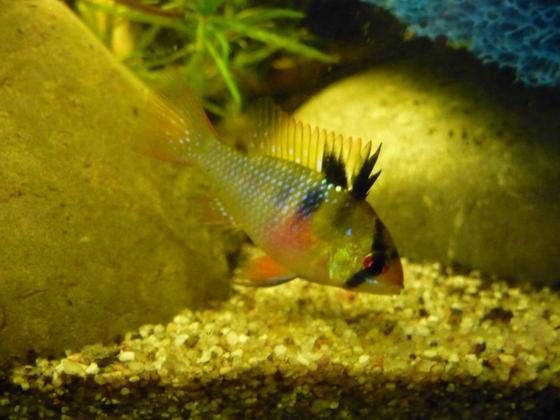 Mikrogeophagus ramirezi Weibchen