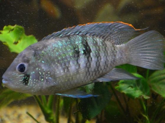 Andinoacara pulcher