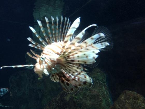 Rotfeuer Fisch