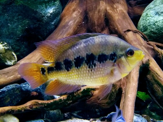 Amphilophus lyonsi Weibchen