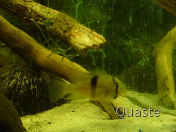 Guianacara geayi