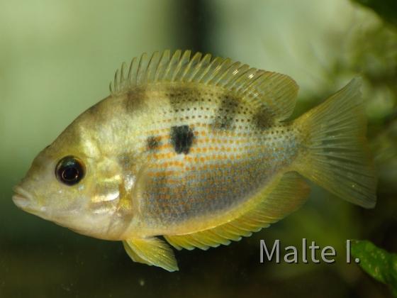 Etroplus maculatus