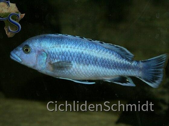 Melanochromis kaskazini