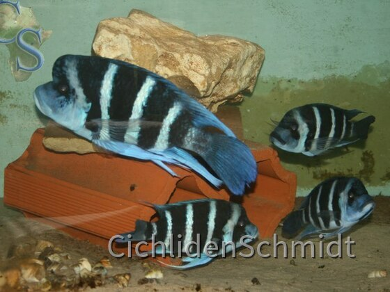 Cyphotilapia Giberrosa Blue Zaire Moba