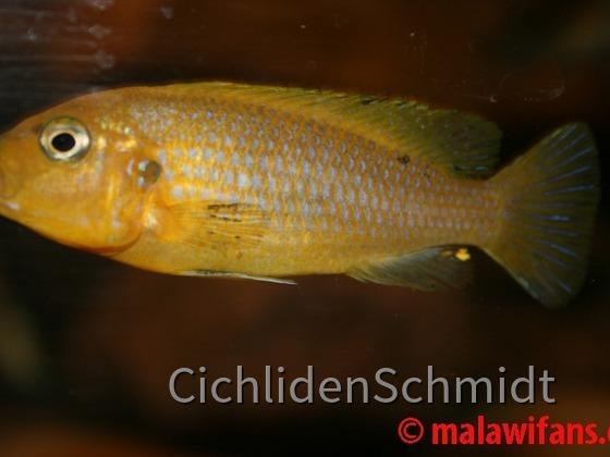 Pseudotropheus Lime Nkhomo