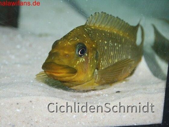 Petrochromis trewavasae WF