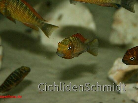 Tropheus golden kazumba