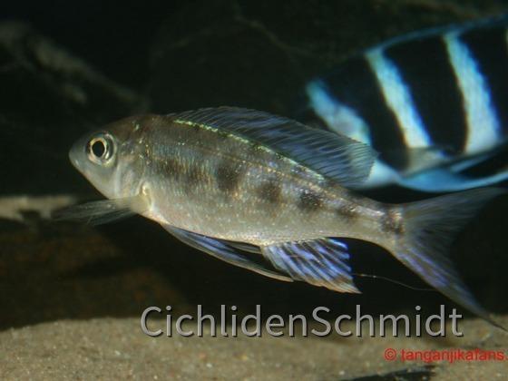 Cyathopharynx foai Kabogo