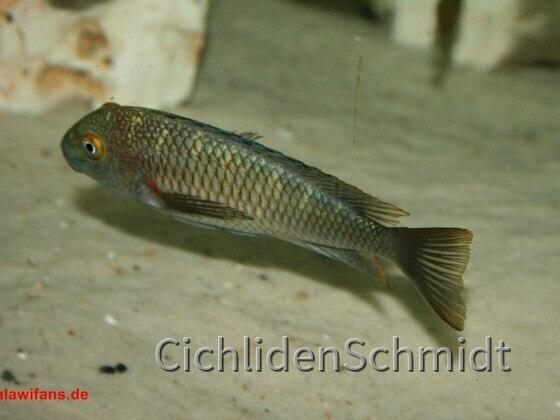 Tropheus Moori Chaitika