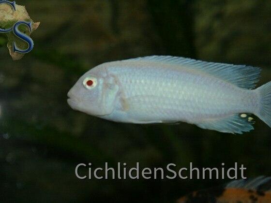 Pseudotropheus socolofi albino
