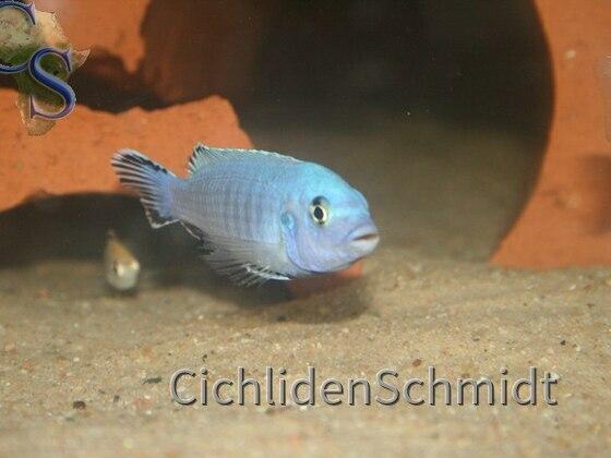 Pseudotropheus socolofi