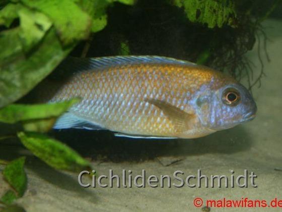 Pseudotropheus patricki Mbenji Island