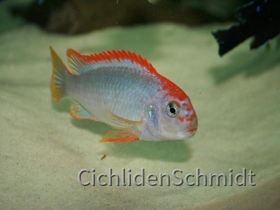 Pseudotropheus sp. red top ndumbi