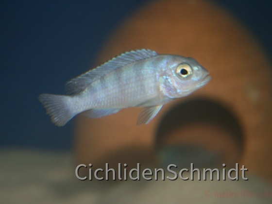 Pseudotropheus lombardoi