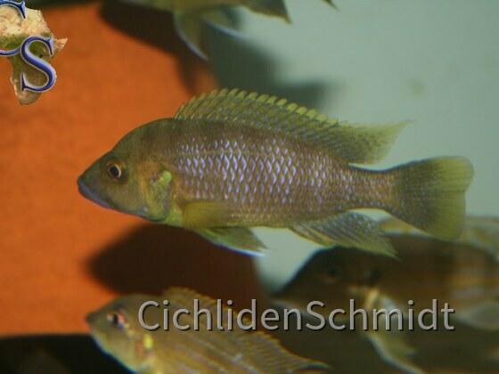 Ctenochromis benthicola