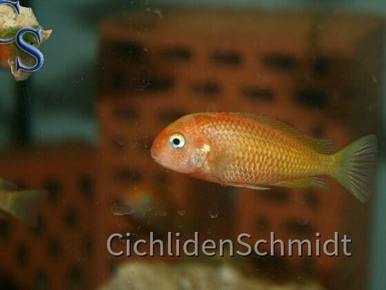 Tropheus caramba red bishop